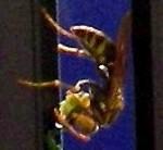 歓迎された蜂
